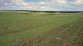 Campo de trigo verde enorme aéreo perto da floresta sob o céu nebuloso filme