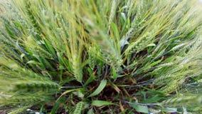 Campo de trigo verde no movimento vídeos de arquivo