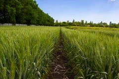 Campo de trigo verde rodeado por el bosque debajo del cielo azul foto de archivo