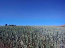 Campo de trigo verde sembrado almacen de metraje de vídeo