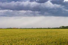 Campo de trigo verde sob céus dramáticos tormentosos na costa belga Foto de Stock
