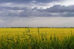 Campo de trigo verde sob céus dramáticos tormentosos na costa belga Imagem de Stock Royalty Free