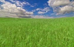 Campo de trigo verde sob o céu azul e as nuvens Imagem de Stock