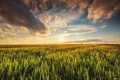 Campo de trigo verde, tiro do por do sol foto de stock