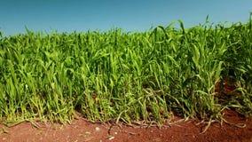 Campo de trigo verde vibrante con tierra roja metrajes