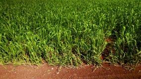 Campo de trigo verde vibrante con tierra roja almacen de video