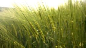 Campo de trigo verde y fondo hermoso almacen de metraje de vídeo