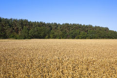 Campo de trigo y árboles de pino Imagen de archivo