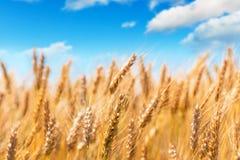 Campo de trigo y cielo azul imagenes de archivo