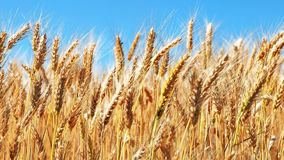Campo de trigo y cielo azul almacen de metraje de vídeo