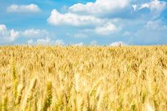 Campo de trigo y cielo azul Fotos de archivo