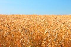 Campo de trigo y cielo azul Foto de archivo
