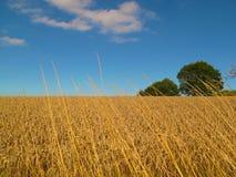 Campo de trigo y cielo azul Imagen de archivo libre de regalías