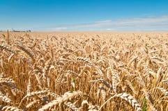 Campo de trigo y cielo azul Imágenes de archivo libres de regalías