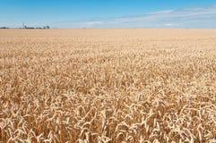 Campo de trigo y cielo azul Imagen de archivo