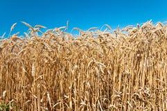 Campo de trigo y cielo azul Fotografía de archivo