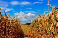 Campo de trigo y cielo azul con las nubes Imagen de archivo libre de regalías
