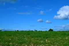 Campo de trigo y cielo azul con las nubes y el fondo blancos de los árboles imagen de archivo libre de regalías