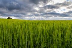 Campo de trigo y cielo nublado Fotos de archivo