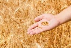 Campo de trigo y mano del varón Imagenes de archivo
