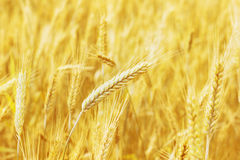 Campo de trigo y oído del trigo, fotografía de archivo