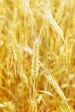 Campo de trigo y oído del trigo fotos de archivo libres de regalías