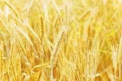 Campo de trigo y oído del trigo imagenes de archivo