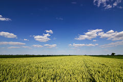 Campo de trigo y paisaje del campo Campo y nubes de trigo Campo de trigo verde el día soleado, cielo azul Fotografía de archivo
