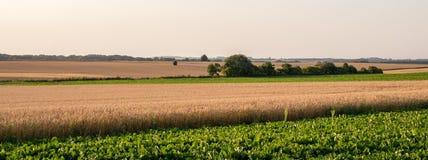 Campo de trigo y remolacha fotos de archivo