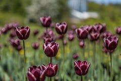 Campo de Tulip Flowers Imagen de archivo libre de regalías