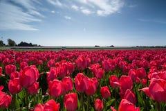 Campo de tulipanes Imagen de archivo