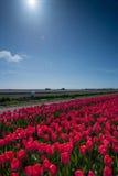 Campo de tulipanes Fotografía de archivo