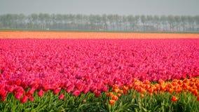 Campo de tulipanes almacen de metraje de vídeo
