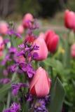 Campo de tulipanes Fotos de archivo libres de regalías