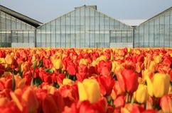 Campo de tulipanes Fotos de archivo
