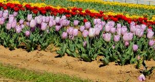 Campo de tulipanes Foto de archivo libre de regalías