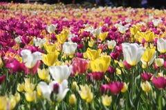 Campo de tulipanes Fotografía de archivo libre de regalías