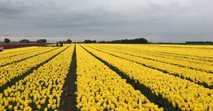 Campo de tulipanes amarillos Imagen de archivo