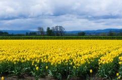 Campo de tulipanes amarillos bajo el cielo tempestuoso Imagen de archivo