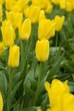 Campo de tulipanes amarillos hermosos Fotos de archivo libres de regalías