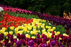 Campo de tulipanes amarillos, púrpuras y rojos Fotografía de archivo libre de regalías