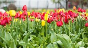 Campo de tulipanes amarillos y rojos hermosos Foto de archivo libre de regalías