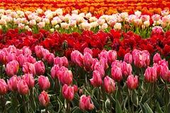 Campo de tulipanes coloridos Imágenes de archivo libres de regalías