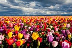 Campo de tulipanes coloridos en resorte Foto de archivo libre de regalías