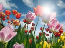 Campo de tulipanes con el cielo Imagen de archivo