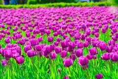 Campo de tulipanes de color de malva Imagenes de archivo