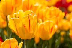 Campo de tulipanes felices amarillos brillantes en Michigan Foto de archivo