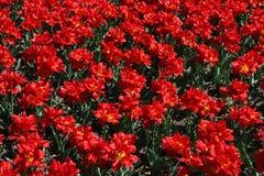 Campo de tulipanes florecientes Fotografía de archivo