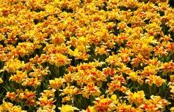 Campo de tulipanes rayados Fotos de archivo