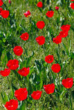 Campo de tulipanes rojos Imagen de archivo libre de regalías